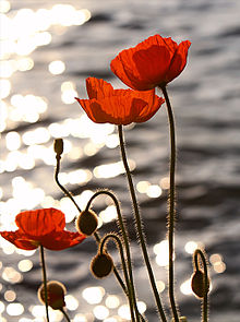 220px-poppies_in_the_sunset_on_lake_geneva
